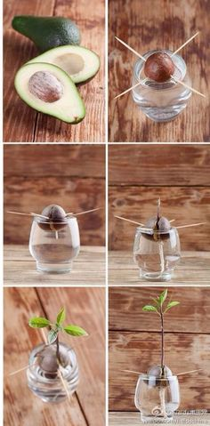 potted avocado seed