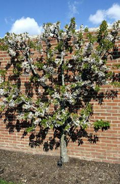 """Espalier, a French word that originates from an Italian word meaning """"shoulder,"""" is a time-tested way to grow fruit in small spaces, often using grafts. This peach tree has been espaliered and grafted with more than one variety."""