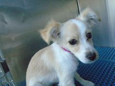 Animal ID\t34074910 \r\nSpecies\tDog \r\nBreed\tChihuahua, Short Coat\/Mix \r\nAge\t1 day \r\nGender\tFemale \r\nSize\tSmall \r\nColor\tWhite\/Tan \r\nSite\tCity of El Paso Animal Services \r\nLocation\tKennel B \r\nOn Hold\t \r\nIntake Date\t11\/26\/2016