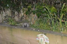 Our very cute visitor -Mrs Hedgehog.