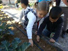 Hemos plantado dientes de ajo para obtener la cabeza de ajos a partir de ellos.