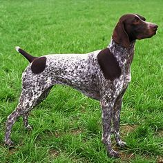 Own a German Shorthaired Pointer