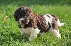 Crockett Doodles - Family Raised Doodle Puppies for Sale Best Puppies, Puppies For Sale, Training Your Puppy, Potty Training, Training Schedule, Puppy House, Pet Dogs, Pets, Goldendoodle Miniature