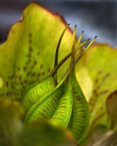 Hellebore seed pod | by Andrew Withey