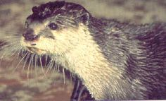 African Clawless Otter or Cape Clawless Otter