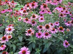 Purpursonnenhut Staude Echinacea purpurea Pflanze Purpur-Sonnenhut Blume Rotblühender Sonnenhut Pflege Schnitt Vermehrung Standort