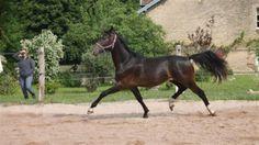 Paarden te koop: Icoon Mansolein