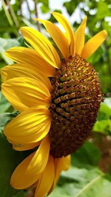 Sun flower for everyone - Sonnenblumen - Flowers Happy Flowers, My Flower, Beautiful Flowers, Sunflower Garden, Sunflower Art, Sunflowers And Daisies, Yellow Flowers, Sun Flowers, Sunflower Pictures