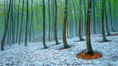 beech forest Tokamachi, Japan | Country: United States United Kingdom Deutsch Canada Australia France ...