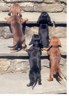 """Keep climbing, guys, there's treats up there.""  #Dachshund #doxiedarlin'"