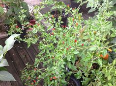 Pequin Chili Capsicum Annuum, Chilis, Veggies, Fruit, Plants, Tomatoes, Nature, Lawn And Garden, The Fruit