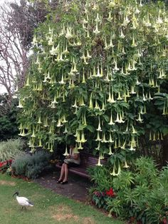 angels trumpets. My favorite flower
