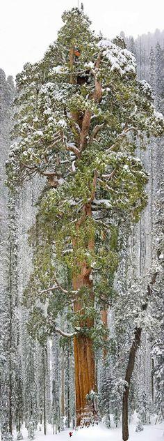 """Esta árvore tem até nome. Ela é conhecida como """"O Presidente"""" e é a terceira maior sequoia gigante do mundo. Encontra-se no Sequoia National Park (Parque Nacional da Sequoia), na Califórnia, Estados Unidos. Ela tem 73 metros de altura e 28 metros de circunferência terrena. As 17 árvores mais incríveis do mundo  - Mega Curioso"""