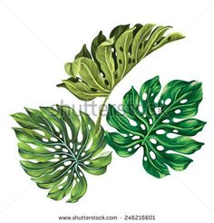 3 vector tropical palm leaves. realistic drawing in vintage style. isolated on white. monstera leaves.