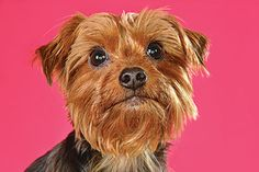 Charlie Butterworth, a Yorkshire Terrier~ Photo Cred: Shane Wynn