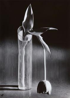 Melancholic tulip by André Kertész, c1939