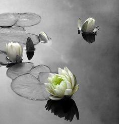 Zen - lotus.