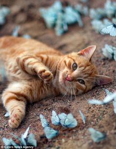 The ginger Tom looks straight at the camera, for a fleeting moment, forgetting about the butterflies