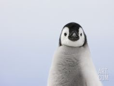 Emperor Penguin Chick Photographic Print by Keren Su at Art.com