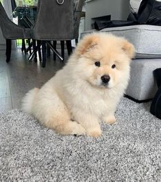 "The Chow-Chow is a dog breed originally from northern China, where it is referred to as Songshi-Quan, which means ""puffy-lion dog Chow Puppies For Sale, Cute Dogs And Puppies, Doggies, Cute Fluffy Dogs, Fluffy Animals, Fluffy Dog Breeds, Cute Funny Animals, Cute Baby Animals, Chow Chow Dogs"