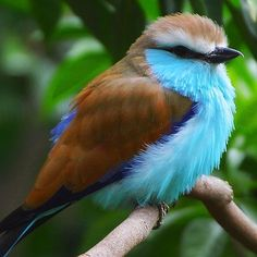 Racket-Tailed Rollers are stocky birds. Males and females have the same plumage and colors – bright blue under-parts and wings, brown caps and backs, with spatulate tips on long outer tail feathers. Their diet consists of insects such as flying ants, termites, grasshoppers, crickets, centipedes and scorpions. They are usually observed perching at vantage points just below the tree canopy and are generally found singly or in pairs. They are monogamous, but in the event of a partner dying…