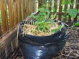 Potatoes in a trash bag!
