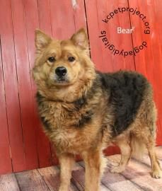 Petango.com – Meet Bear, a 5 years 1 month Chow Chow / Shepherd available for adoption in KANSAS CITY, MO