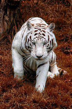 Autumn Tiger By Christian Renteríapla