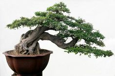Beijing Bonsai  #bonsai #gardening
