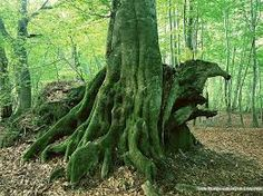 Image result for tree in  forest