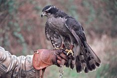 Falconry is a common sport throughout Esperit. Types Of Hawks, Half Drow, Northern Goshawk, Falcon Hawk, Tarin, Character Aesthetic, Birds Of Prey, Raptors, Dungeons And Dragons