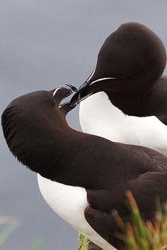 Razorbills courting – amazing Iceland!