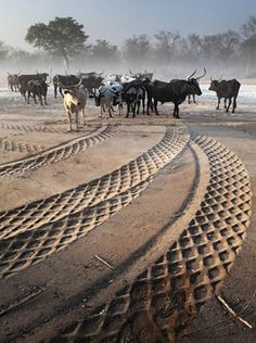 Tire tracks meet cattle on the road between Okongo and Mpungu, Northern Namibia by Obie Oberholzer Out Of Africa, West Africa, South Africa, African Animals, African Art, Congo, Zimbabwe, Sierra Leone, Seychelles