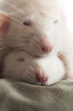 Rats snuggling on top of each other - site has 23 CUTE rat pics