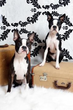 Boston Terriers are the best