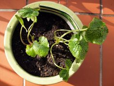 Wasabi plant from Four Seasons Herbs | Fig & Cherry