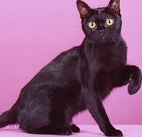 Bombay Cat Traits