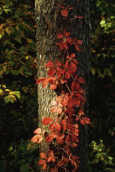Virginia Creeper Vine In Autumn Colors