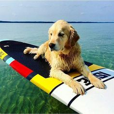 """""""Very confortable on his #paddleboard @stokeshare -  Who's standup paddleboarding this weekend?  pc: @islesurfandsup  #dogsofinstagram #supdog #standuppaddleboard #paddleboarding #standup #getoutstayout #ownlessdomore #sharestoke #standuppaddle"""" Photo taken by @stand.up.paddle on Instagram, pinned via the InstaPin iOS App! http://www.instapinapp.com (11/11/2015)"""