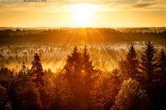 Auringonnousu Torronsuolla - Torronsuo aamu auringonnousu auringonvalo aurinko kasvi keltainen kirkas kullanvärinen kuusi luonto luontokuva puu puut sumu sumuinen suo sää usva valo