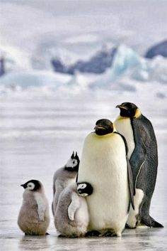 Penguin Family. Too cute!