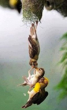 """Fascinating Pictures: Baby bird being saved after falling from the nest. "".  Owain Hackling"
