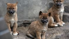 Three dingo puppies in their enclosure at the Tierpark Friedrichsfelde Zoo in Berlin, Germany, on February 28, 2012. Four baby dingos were born at the zoo on Jan. 3, 2012. (Stephanie Pilick/AFP/Getty Images)