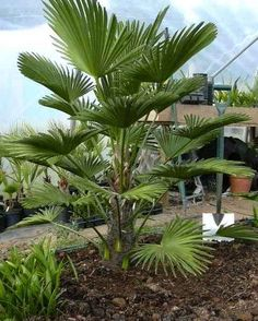 The Miniature Chusan Palm Tree, scientific name Trachycarpus wagnerianus, is a great palm for indoors or outdoors because of its durability and cold hardiness that makes it perfect for landscape in… Palm Trees Landscaping, Tropical Landscaping, Backyard Landscaping, Backyard Pools, Pool Decks, Tropical Backyard, Tropical Plants, Trees And Shrubs, Trees To Plant