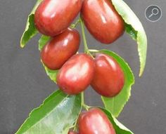 'Chang' Jujube / Chinese Date Harvest: August-October Fruit Flowers, Fruit Plants, Fruit Trees, Trees To Plant, Weird Fruit, Strange Fruit, Colorful Fruit, Tropical Fruits, Unusual Plants