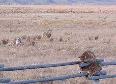 Mountain lions escape from coyotes. Photo by Lori Iverson