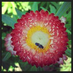 Peach Strawflower