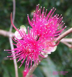 馬來蘋果 mountain apple, Malay rose apple (Syzygium malaccense)