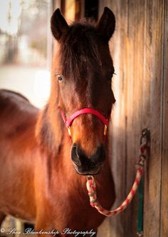 Joe Joe is a 11 hh pony that was rescued by Safe Harbor Sanctuary in Tennessee and is now available for adoption!