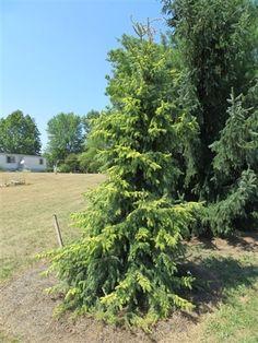 Picea omorika 'Aurea' - Golden Serbian Spruce - Buy at Conifer Kingdom